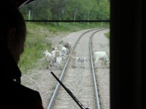 Rentiere auf den Schienen